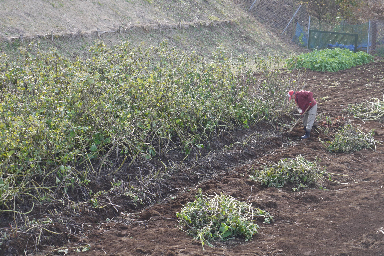 ヤーコンの収穫